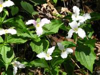 Mound of Wild, White Trillium