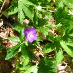"""Wild Geranium"" by MistletoeRidge"