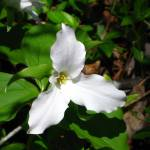 """Single White Trillium"" by MistletoeRidge"