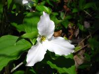 Single White Trillium