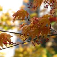 Maple in Leaf Art Prints & Posters by Barbara Mills