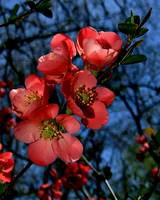 Japanese Flowering Quince l