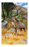 The Greater Kudu,Tragelaphus strepsiceros