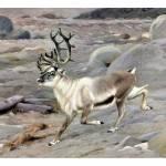 """""""The reindeer (Rangifer tarandus)"""" by markkumurto"""