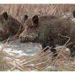 """The wild boar (Sus scrofa)"" by markkumurto"