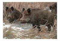 The wild boar (Sus scrofa)