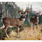 """""""The white-tailed deer (Odocoileus virginianus)"""" by markkumurto"""