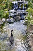 Black Swan at Waterfall
