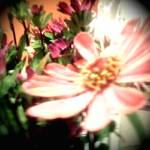 """Flower taken with iPhone and processed with Camera"" by syunghans"