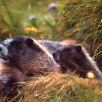 """Mother And Baby Marmot 646"" by John-foster"