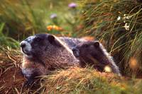 Mother And Baby Marmot 646