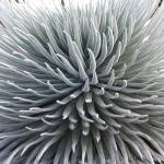 """Silversword"" by mikepdx"