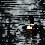 """""""Duck on the water"""" by DebsDesigns"""