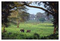 Two Elephants in Ngorongoro Crater, Tanzania