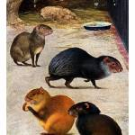 """four variations of Agouti"" by markkumurto"