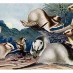 """A handful of nice Phloeomys rats"" by markkumurto"