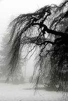 Fog & Willow