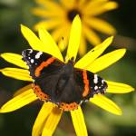 """""""Red Admiral"""" by brianhaslam"""