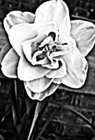 Black and White jojo Designs Flower 1