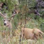 """""""Mule Deer 1"""" by JMcQ"""
