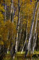 Casper Mountain Aspen