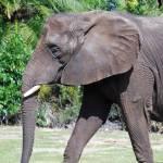 """""""Elephant"""" by BBuzz"""