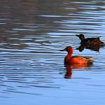 """Pair of Cinnamon Teal Ducks"" by rayjacque"