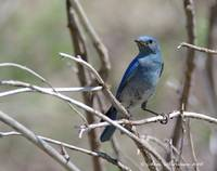Rocky Mountain Bluebird