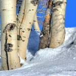"""Aspen trunks in snow on Casper Mountain"" by SamSherman"