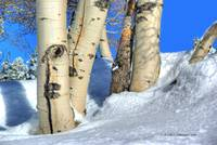 Aspen trunks in snow on Casper Mountain