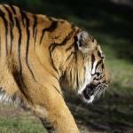 """Sumatran tiger"" by travelpicspro"