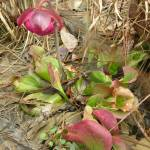 """purple pitcher plant"" by tedreese"