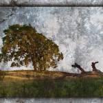 """""""Lime Ridge Oak Tree"""" by dbwalton"""