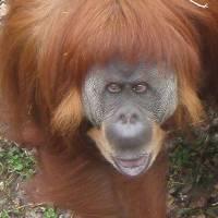 Orangutan Art Prints & Posters by Janice Nabors Raiteri
