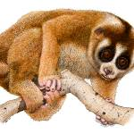 """Slow Loris"" by inkart"