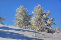 Snowy Trees on Casper Mountain