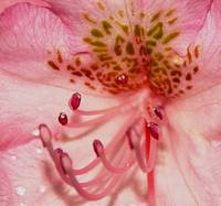 Pink Rhododendron Blossom lll