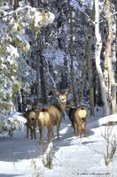 Casper Mountain Mule Deer