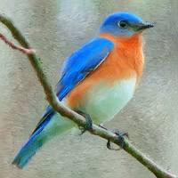 Eastern Bluebird_Painting lg