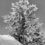 """Winter in Black and White single tree"" by SamSherman"