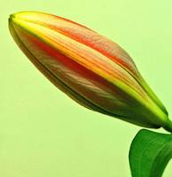 Lily Bud Beauty :)