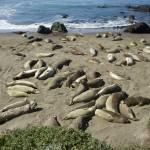 """Elephant Seals 1"" by 3Stacks"