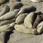 """Elephant Seals 6"" by 3Stacks"