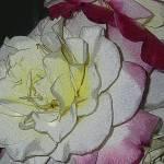 """""""Rose de Creme II"""" by magnoliadorn"""