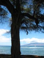 Tree and the ocean