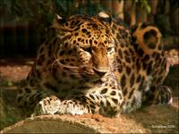 Amur Leopard: The Whole Kitten Kaboodle