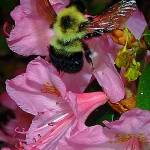 """Pink Rhododendron with Bee"" by bavosiphotoart"
