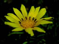 Another Bright Yellow Gazania
