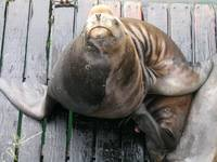 Newport Sea Lion