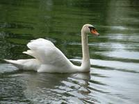 Swan One